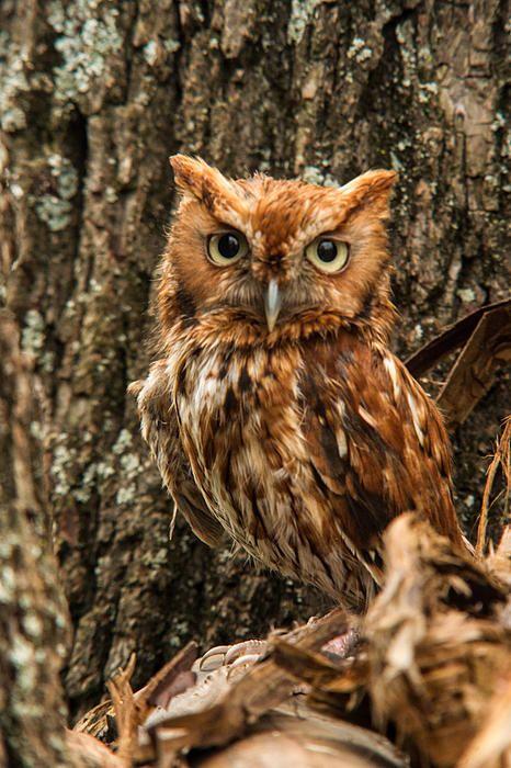 Screech Owl 2 Print by Douglas Barnett