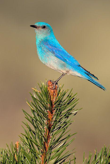 pin blue macaw bird - photo #38