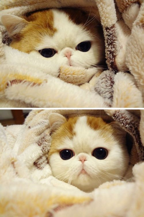 smushy faced kitty