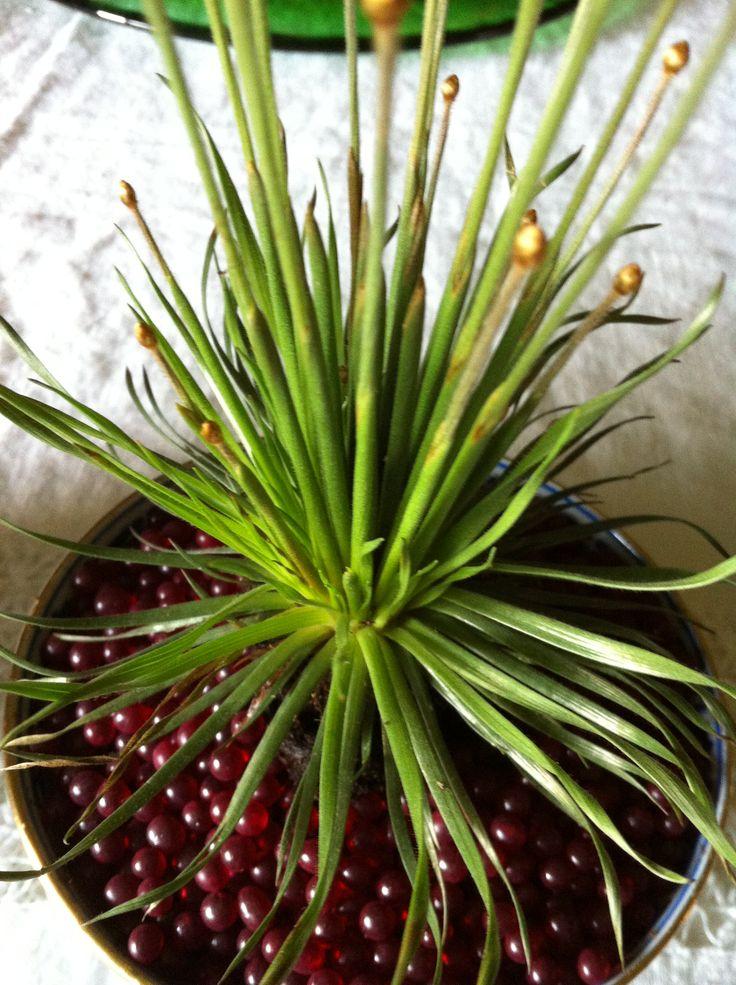 syngonanthus mikado vermehrung