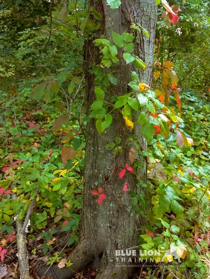 How to Identify the different forms of Poison Ivy
