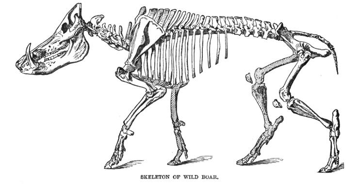 Skeleton | Woodland - Wild Hog & Boar | Pinterest