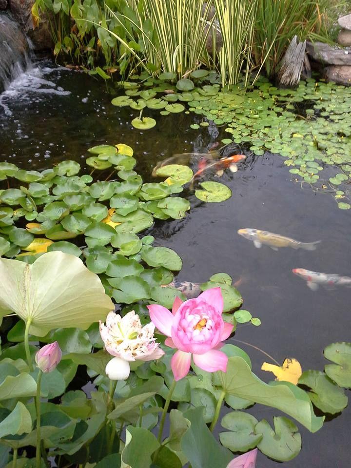 pond lotus and koi fish lgin yerler ve resimler