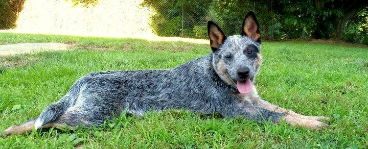 Peppercorn! | Working Farm Breeds ~ My Favorite Dogs! | Pinterest