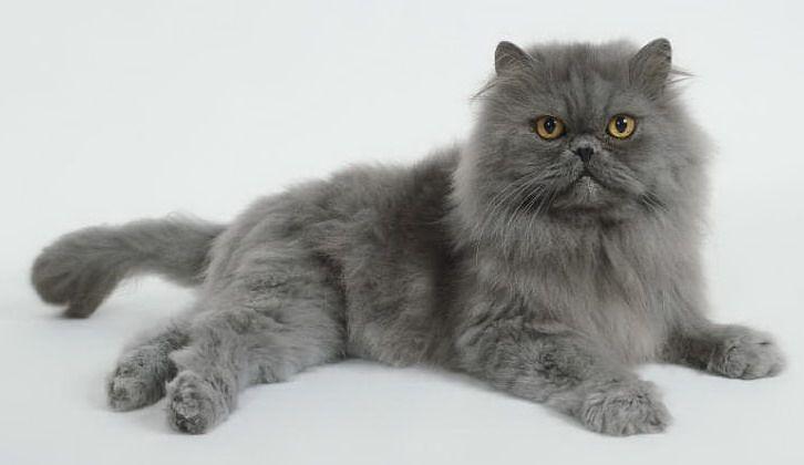 Grey Persian