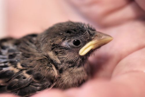 how to raise baby sparrows