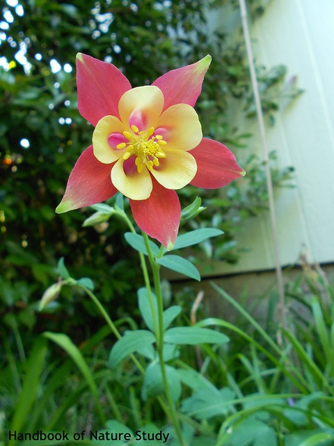 Columbine red yellow beauty by HarmonyArtMom, via Flickr--grows well in shade