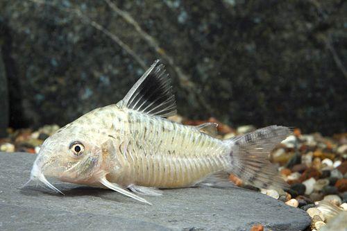 Reticulated Cory (Corydoras Reticulatus) aquarium fish freshwater ...