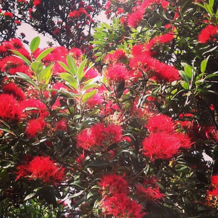 red flowers of the new zealand pohutukawa tree blue angel photo