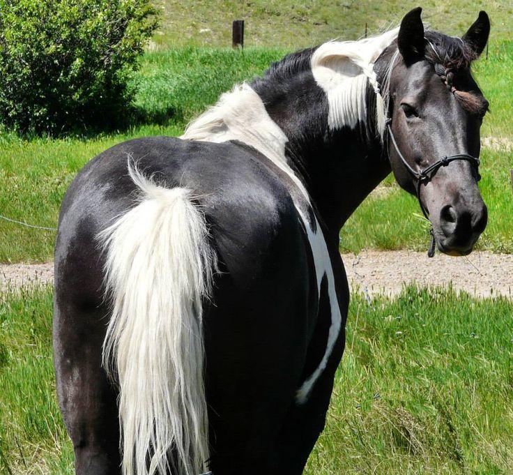 Black and white pinto horse - photo#13