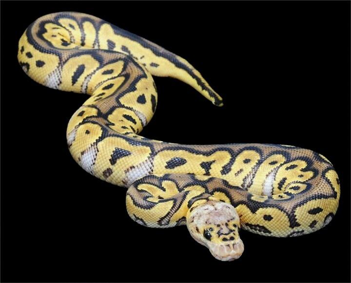 Killer clown | Ball pythons | Pinterest