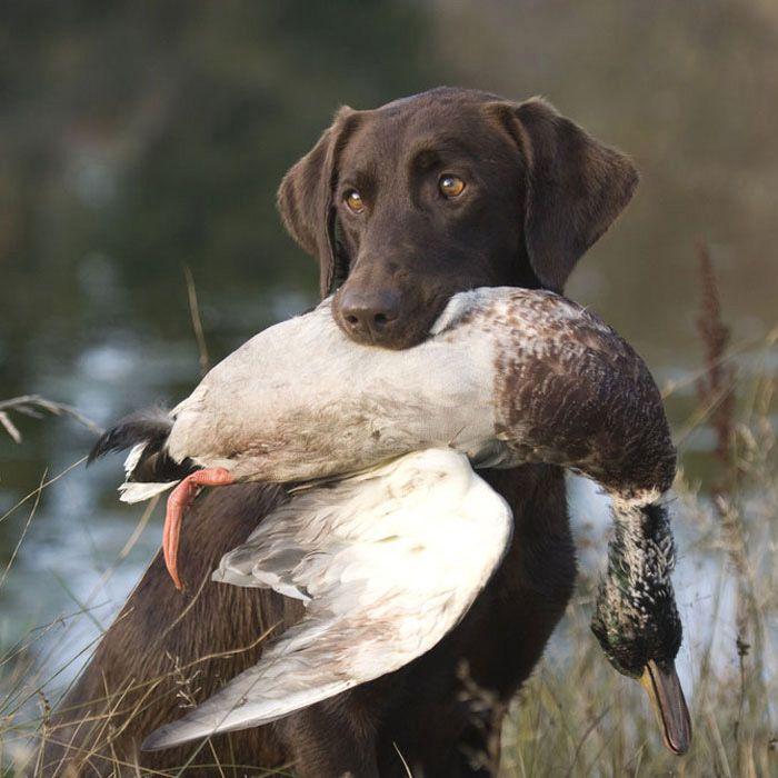 labrador retriever | Hunting | Pinterest