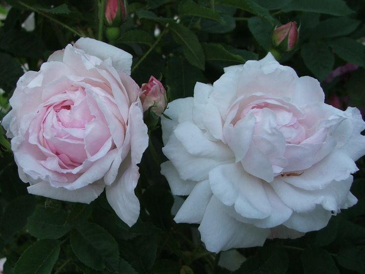 Rose ancienne Antonine d'Ormois