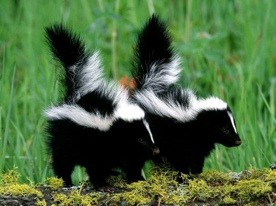 my skunk friends