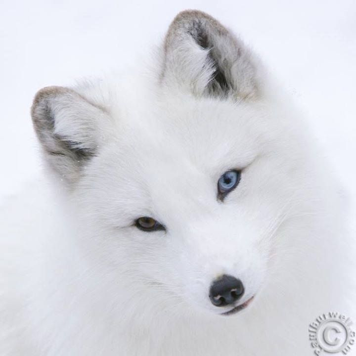 beautiful blue white wolf - photo #10