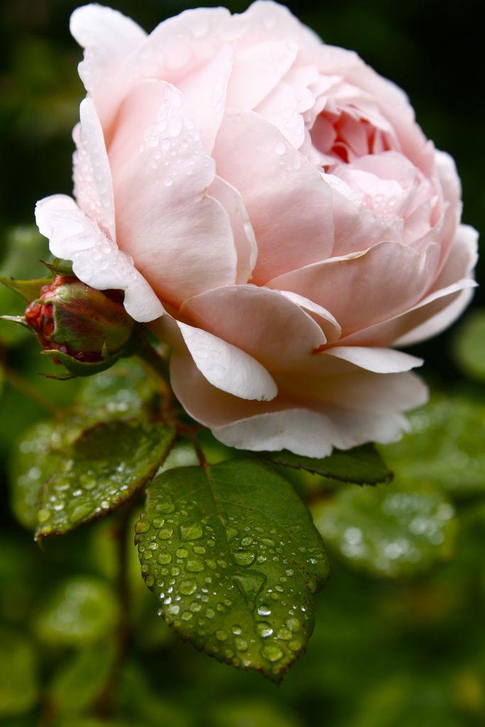 ✕ Ambridge Rose: elegant blooms with myrrh scent / #rose #garden #nature #pink
