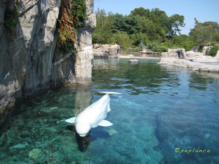 Mystic Aquarium Beluga Whales Pinterest
