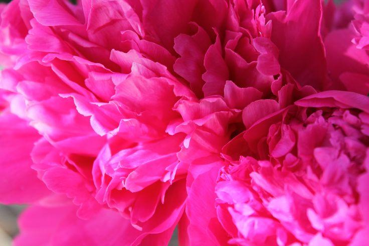 Hot pink peony  love it Hot Pink Peony