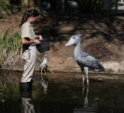 african shoebill animals pinterest