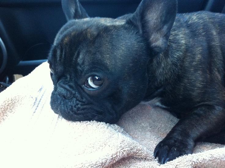 Frenchie puppy dog eyes... | Frenchie Love | Pinterest