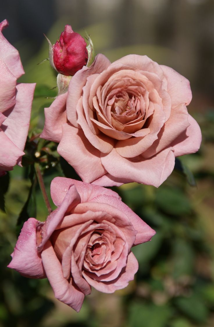 mauve roses google search flowers pinterest