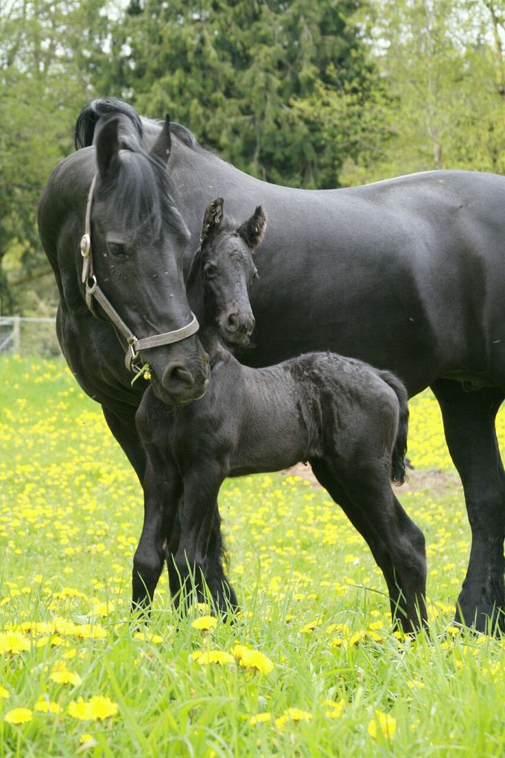 Baby black horses