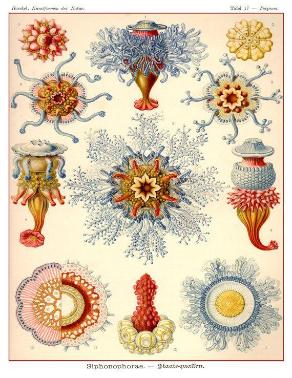 Vintage jellyfish illustration - photo#22