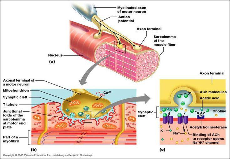 steroid receptors bodybuilding
