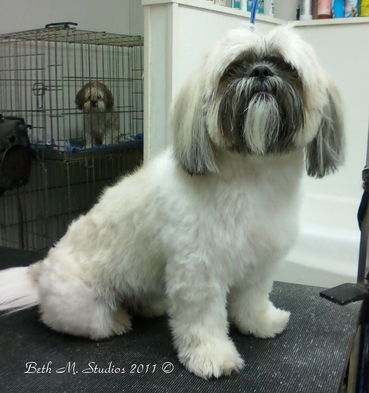 How to Groom Shih Tzus