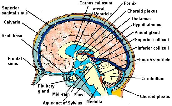 Anatomy Pictures: Neuroanatomy | Kenhub