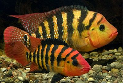 South american cichlids list - photo#16