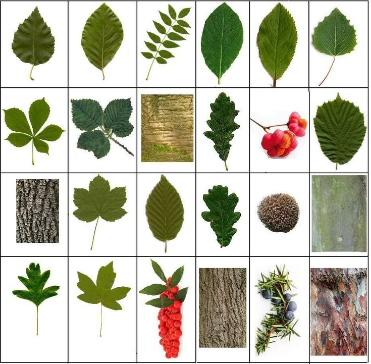 Sporcle Smart Diversion Games Trees And Foliage