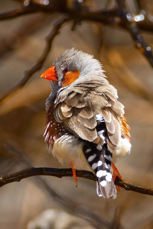 Orange finch birds - photo#27