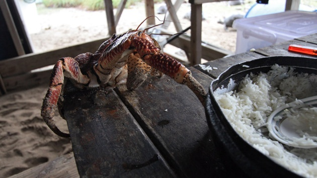 Coconut or robber crab, Birgus latro, and a bowl of rice…