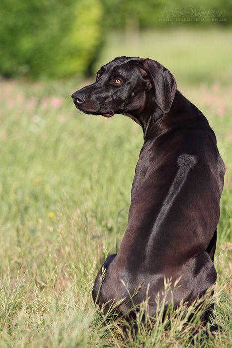 Weimaraner-Rhodesian Ridgeback Mix what a gorgeous dog!