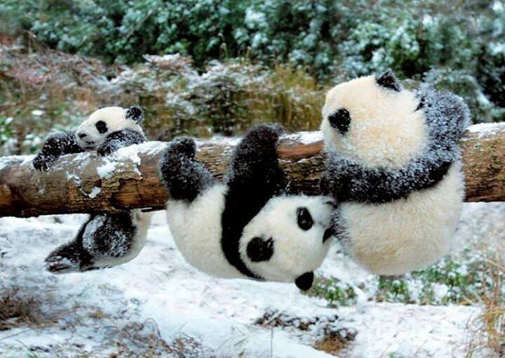 Panda cubs playing in snow - photo#1