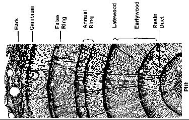 Cross dating methods in dendrochronology core