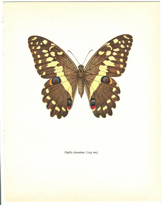 Vintage Butterfly Print  1960s Natural History Papilio Demodocus Brown    Vintage Butterfly Print