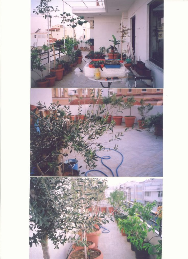 Growing olive trees in pots urban oasis pinterest for Fertilizing olive trees in pots