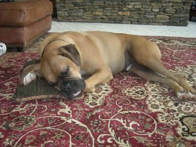 Boxers love a good pillow boxers pinterest