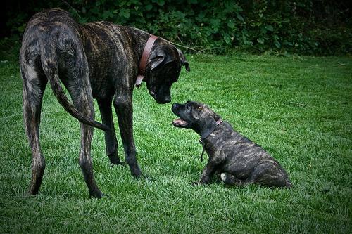 giant maso mastiff - photo #1