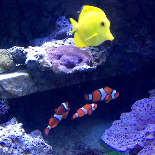 Aquarium fish deep blue sea pinterest for Blue fish aquarium