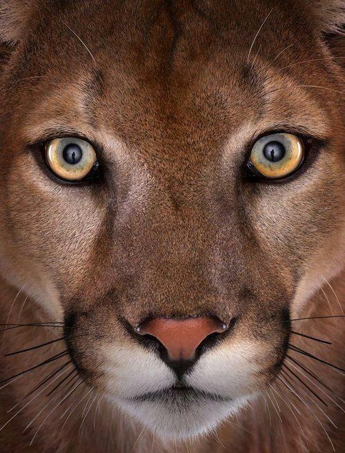 Mountain lion face close up - photo#5