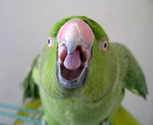 Screaming parrot - photo#24