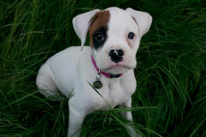 Baby white boxer | I Love Boxers | Pinterest
