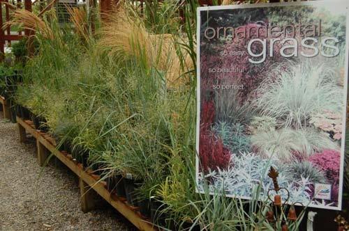 Ornamental Grasses, Vale's Greenhouse Alberta Canada