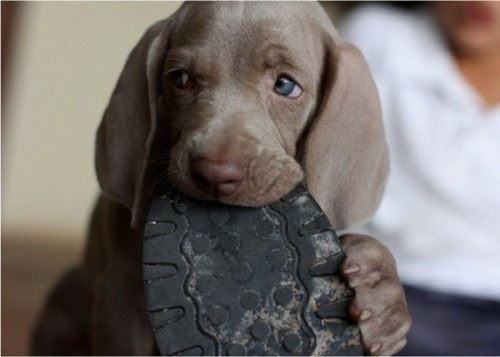 Cute puppy! Weimaraner | Too Funny, Too Cute | Pinterest