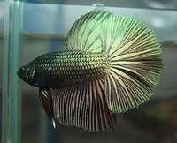 pin images of betta fish tips wallpaper on pinterest