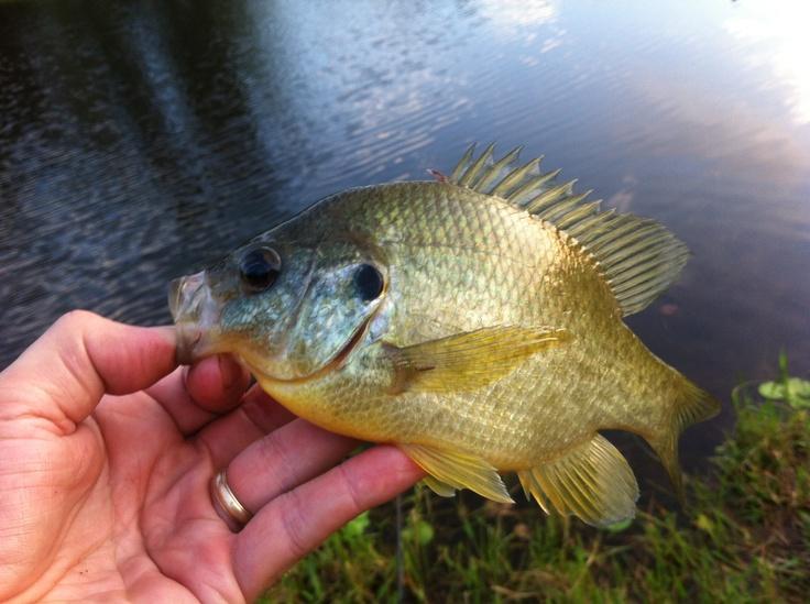 Sun perch creatures of the seas rivers pinterest for Sun perch fish