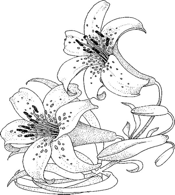 Calla lily wedding coloring pages coloring pages for Lily flower coloring pages